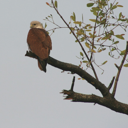 This fish eagle is looking for his next meal, which obviously will be fish.