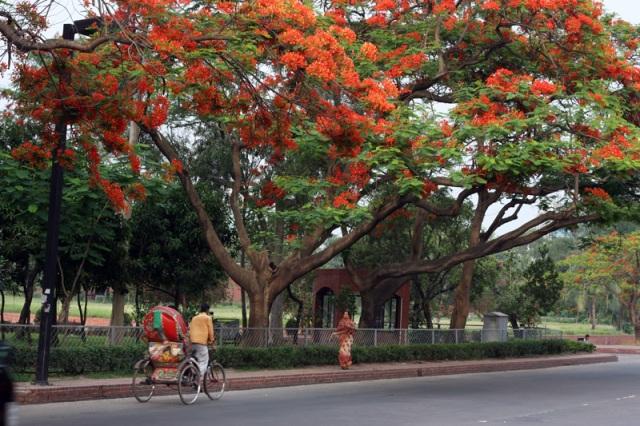 Krishnachura Tree showing its finest.