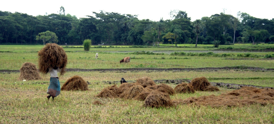 Rice Harvest!
