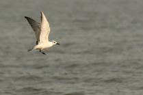Sunlight On the Whiskered Tern