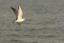 Sunlight On the Whiskered Tern