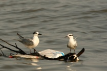 Brown-Headed Gull with Whiskered Tern!