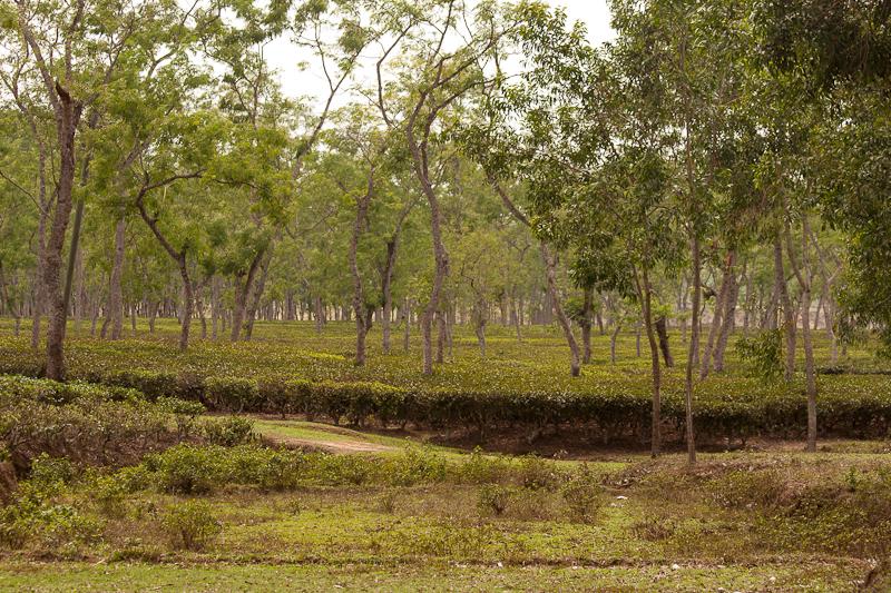 Beautiful Tea Gardens in Northeast Bangladesh!