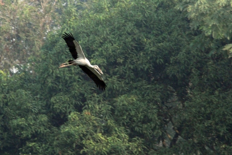 Flying Asian Openbill