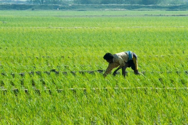 Bengali Farmer