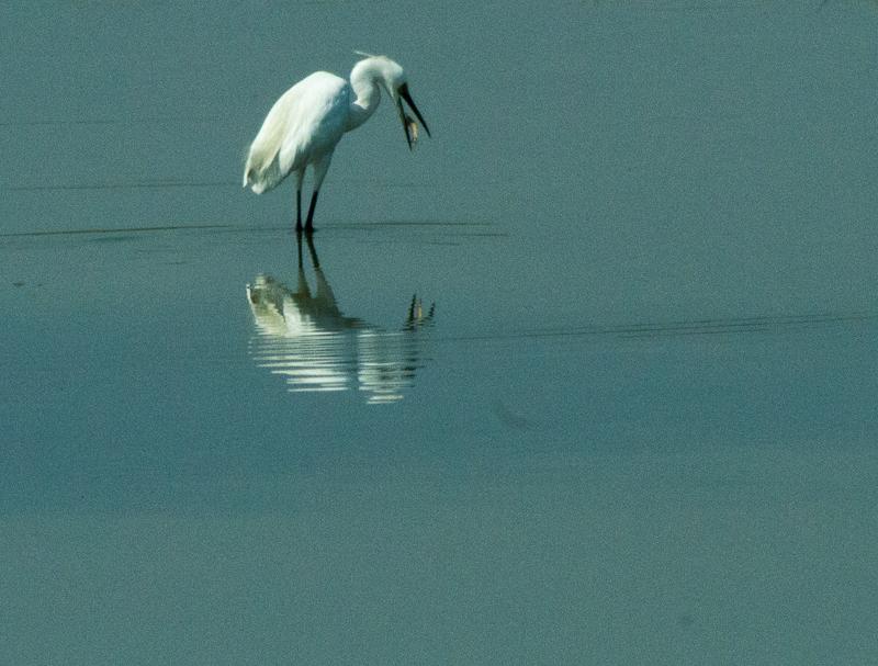 Little Egret?