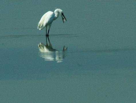 Little Egret?