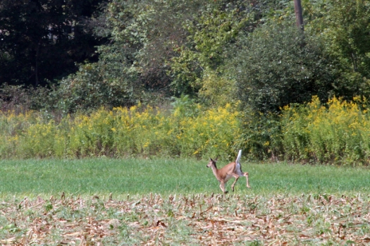 White-Tailed Doe in Berks County, Pa.