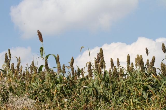 Unknown Grain