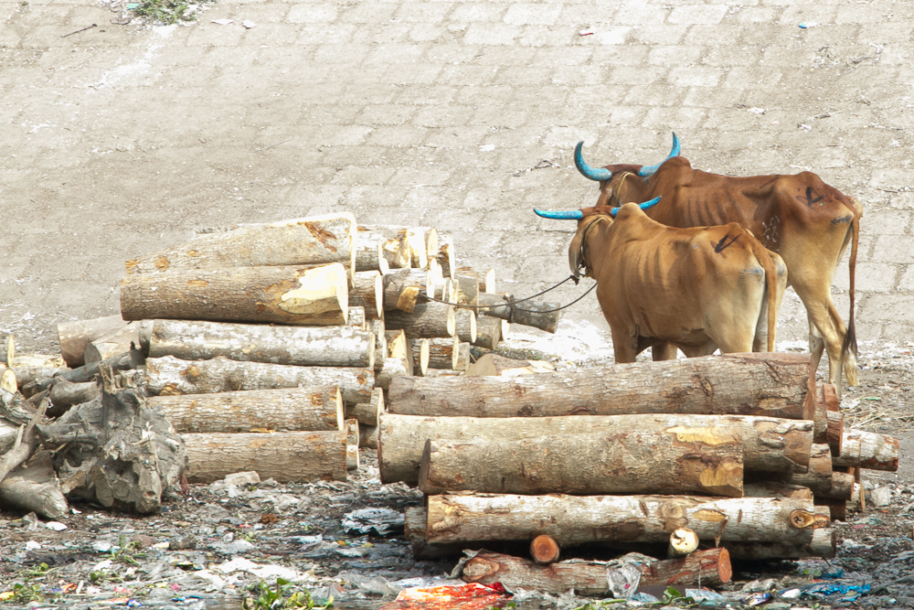 marlandphotos-blog-photography-OldDhaka-Buriganga-Cows-BlueHorns