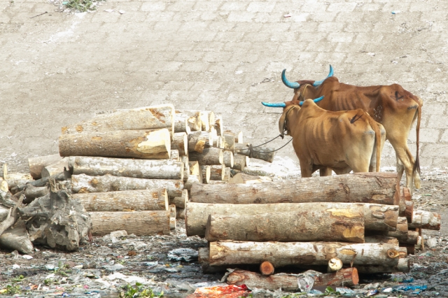 marlandphotos-blog-photography-OldDhaka-Buriganga-Cows-BlueHorns
