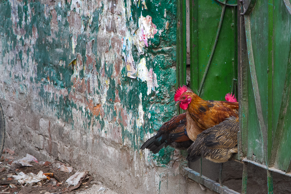 marlandphotos-blog-photography-chickens-guards