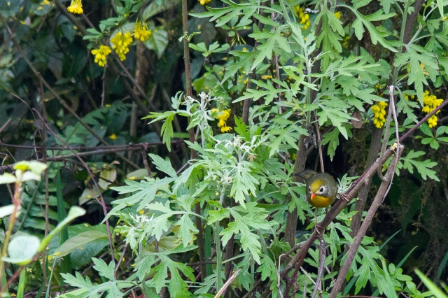 marlandphotos-blog-photography-bird-pekingrobin-Darjeeling