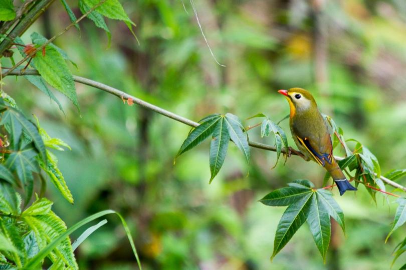 marlandphotos-blog-photography-bird-redbilled-leothrix-darjeeling-india