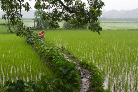 Marlandphotos-blog-photography-bangladesh-Rice-Paddy-BoilorVillage