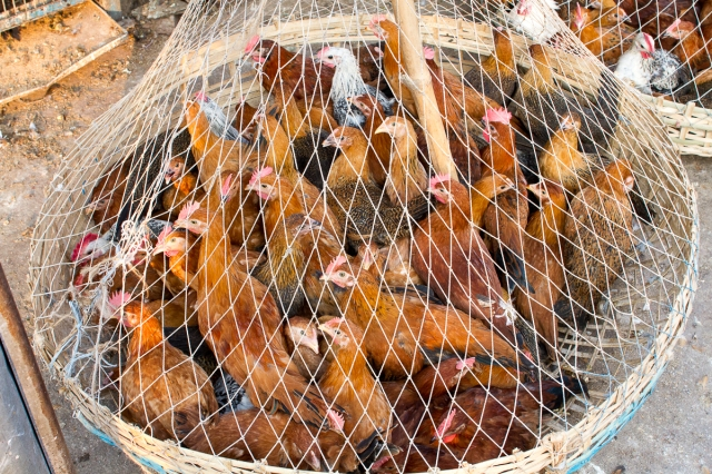marlandphotos-blog-photography-bazaar-bangladesh-Chickens