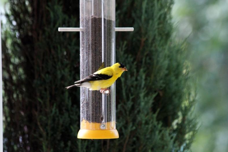 Mr. Goldfinch