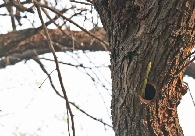 Bird Dives into Hole in Tree With Only Tail Sticking Out!