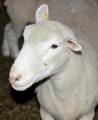 The Ewe
